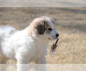 Pyrenean Shepherd Dog for Adoption in SCANDIA, Kansas USA