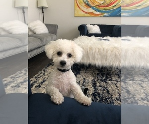 Bichon Frise Puppy for sale in ALGONQUIN, IL, USA