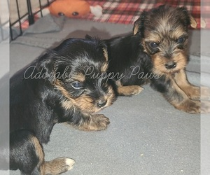 Yorkshire Terrier Puppy for Sale in ATHENS, Alabama USA