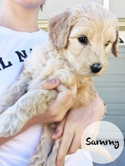 Goldendoodle Puppy For Sale in LITTLETON, CO