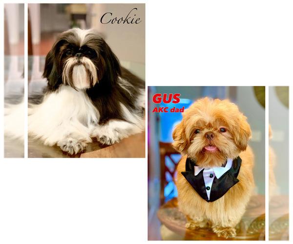 Medium Photo #7 Shih Tzu Puppy For Sale in SUGAR HILL, GA, USA