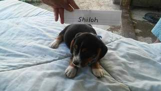 Beagle Dog For Adoption in ROCHESTER, IN, USA