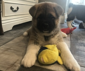 Akita Puppy for sale in MUNFORDVILLE, KY, USA