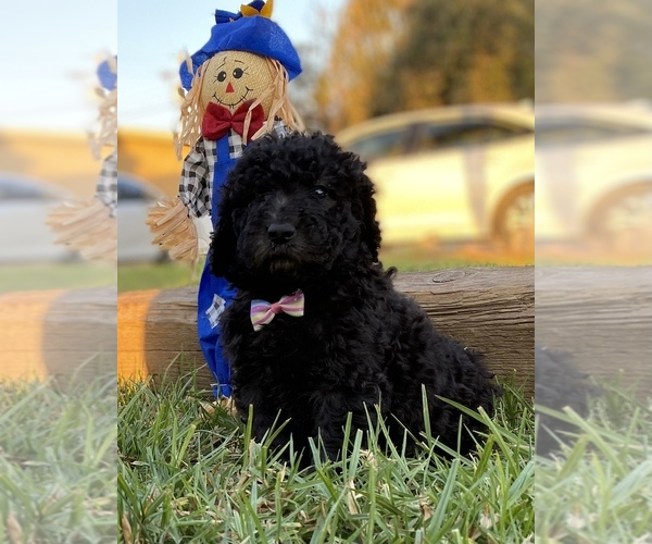 Medium Photo #1 Poodle (Standard) Puppy For Sale in HANFORD, CA, USA