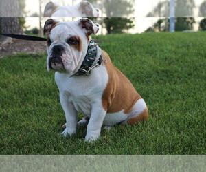 Bulldog Puppy for sale in DENVER, CO, USA