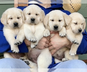 Golden Labrador Puppy for Sale in GLENDALE, California USA