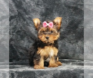 Yorkshire Terrier Puppy for Sale in WARSAW, Indiana USA