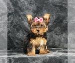 Puppy 15 Yorkshire Terrier