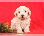 Puppy 3 Bernedoodle