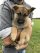 German Shepherd Dog Puppy For Sale in ALVATON, KY, USA