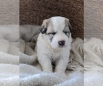Small #55 Great Pyrenees