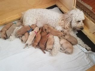 Goldendoodle Puppy For Sale in SEMINOLE, FL, USA
