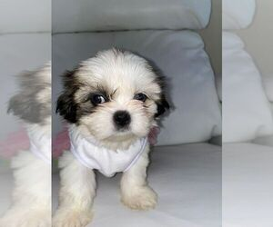 Shih Tzu Puppy for Sale in CROSSINGS, Florida USA