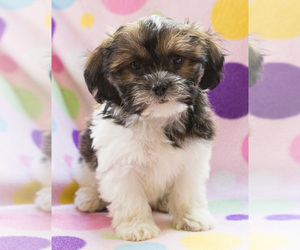 Shih-Poo Puppy for sale in BAY VIEW, WI, USA