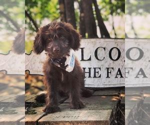 Aussiedoodle Miniature  Puppy for Sale in OROFINO, Idaho USA