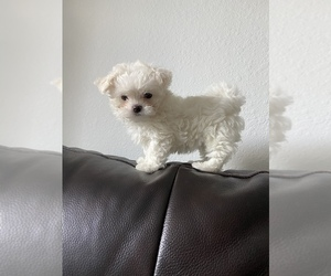 Maltese Dog for Adoption in HOLLYWOOD, Florida USA
