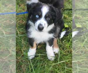 Miniature Australian Shepherd Puppy for Sale in PERRY, Michigan USA