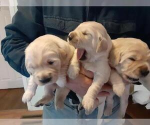 Golden Retriever Puppy for sale in WINCHESTER, NH, USA