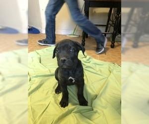 Cane Corso Puppy for sale in AMARILLO, TX, USA