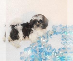 Shih Tzu Puppy for sale in WARRENSBURG, MO, USA