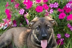 German Shepherd Dog Puppy For Sale in WINTERSET, IA, USA