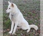 Small #7 Wolf Hybrid