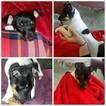 Fox Terrier (Toy) Puppy For Sale in SCOTTSVILLE, KY, USA