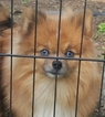 Pomeranian Puppy For Sale in SMITHVILLE, TX, USA