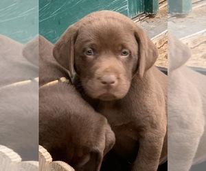 Labrador Retriever Puppy for Sale in BANDERA, Texas USA
