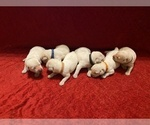 Small Photo #5 Labrador Retriever Puppy For Sale in CLARKESVILLE, GA, USA