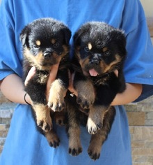 Rottweiler Puppy For Sale in LA TUNA CANYON, CA, USA