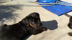 Puppy 3 Cane Corso-Rottweiler Mix