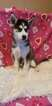 Siberian Husky Puppy For Sale in MINNEAPOLIS, MN, USA