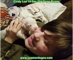 Small Photo #46 Dogo Argentino Puppy For Sale in PINEVILLE, MO, USA