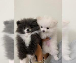 Pomeranian Puppy for sale in E ROCKLAND KEY, FL, USA