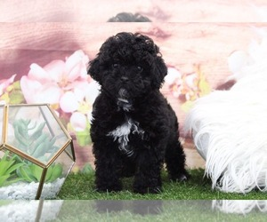 Poodle (Toy) Puppy for sale in MARIETTA, GA, USA