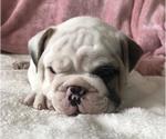 Small #9 English Bulldog