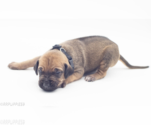Rhodesian Ridgeback Puppy for sale in RIO VERDE, AZ, USA