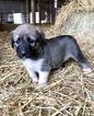 Small #1 Anatolian Shepherd-Great Pyrenees Mix
