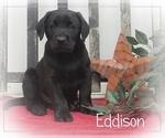 Puppy 6 Labrador Retriever