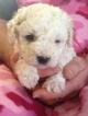 Bichon Frise Puppy For Sale in CHEHALIS, WA