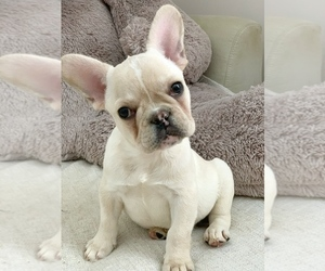 French Bulldog Puppy for sale in CALDWELL, NJ, USA