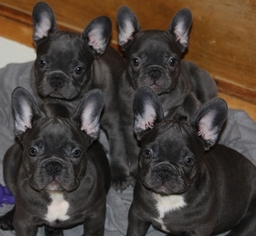 French Bulldog Puppy For Sale in LAKE BUTLER, FL, USA