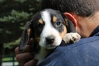 Entelbucher Mountain Dog Puppy For Sale in SCHDY, NY, USA