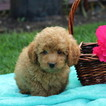 Poodle (Miniature) Puppy For Sale in GAP, PA,