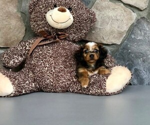 Dachshund Puppy for Sale in CLEVELAND, North Carolina USA