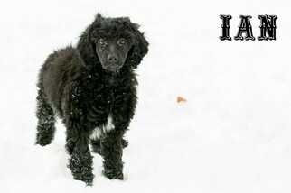 Puppyfinder com: Poodle (Standard) puppies puppies for sale