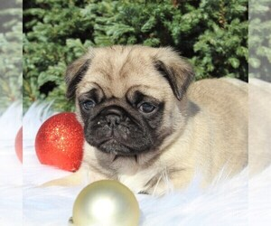 Pug Puppy for sale in GREENCASTLE, PA, USA