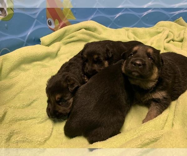 Medium Photo #4 German Shepherd Dog Puppy For Sale in ALBANY, NY, USA
