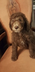 Labradoodle Puppy for sale in KATY, TX, USA